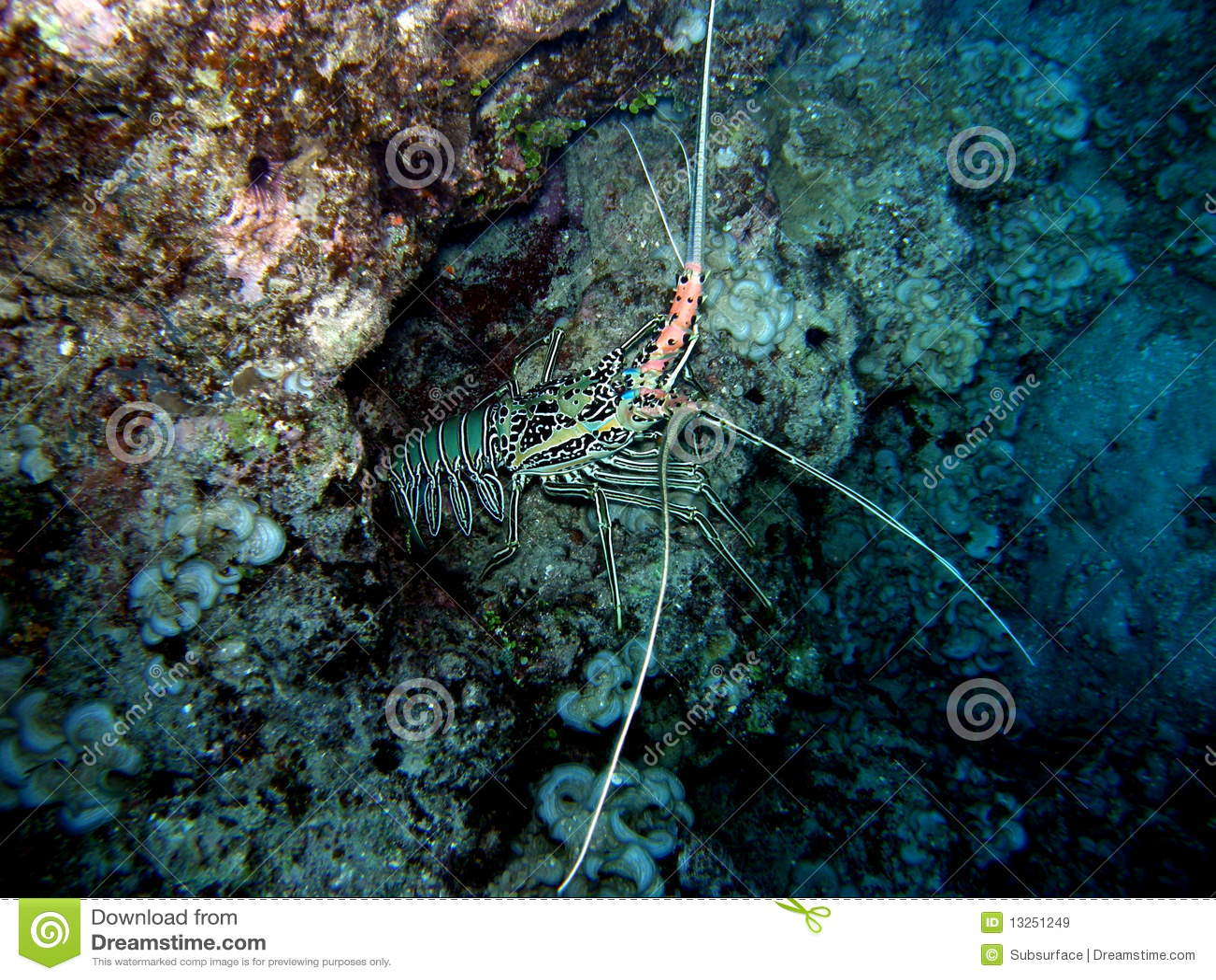Painted Crayfish Lobster Fiji