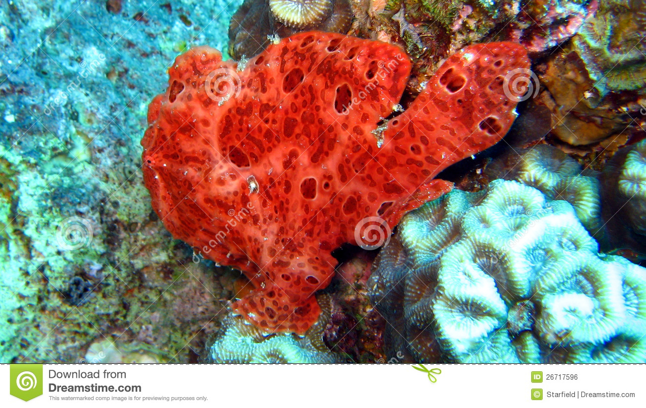 Painted Frogfish Or Anglerfish,Antennarius Pictus Stock Photo ...