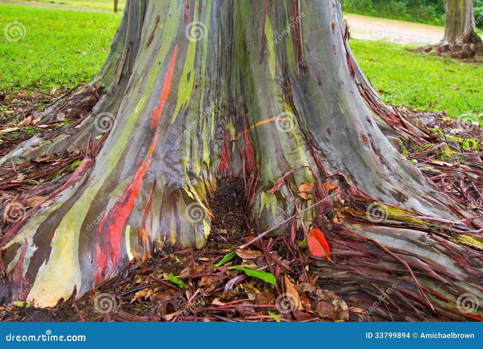 Rainbow Painted Gum Eucalyptus Tree Stock Images Image 33799894