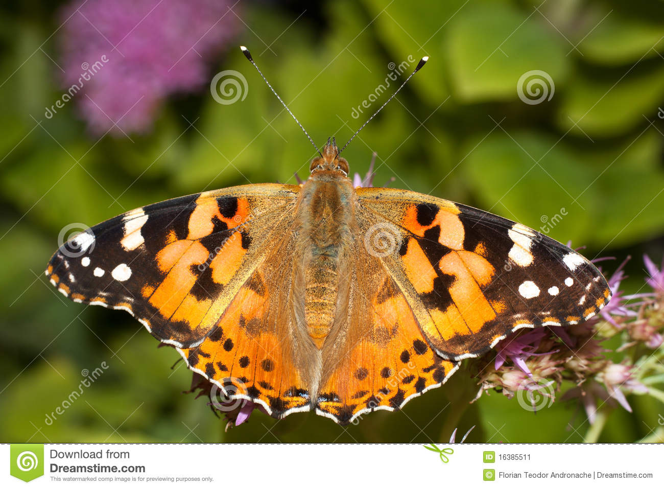 Download Painted Lady Butterfly, Vanessa Cardui Stock Image - Image of plant, orange: 16385511