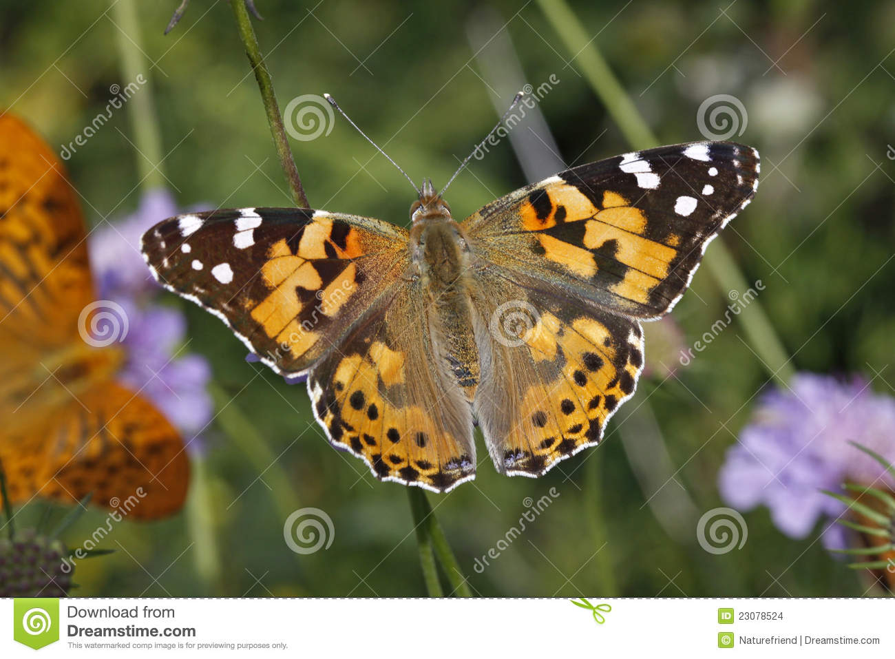 Download Painted Lady Butterfly (Vanessa Cardui) Stock Photo - Image of insect, nymphalidae: 23078524