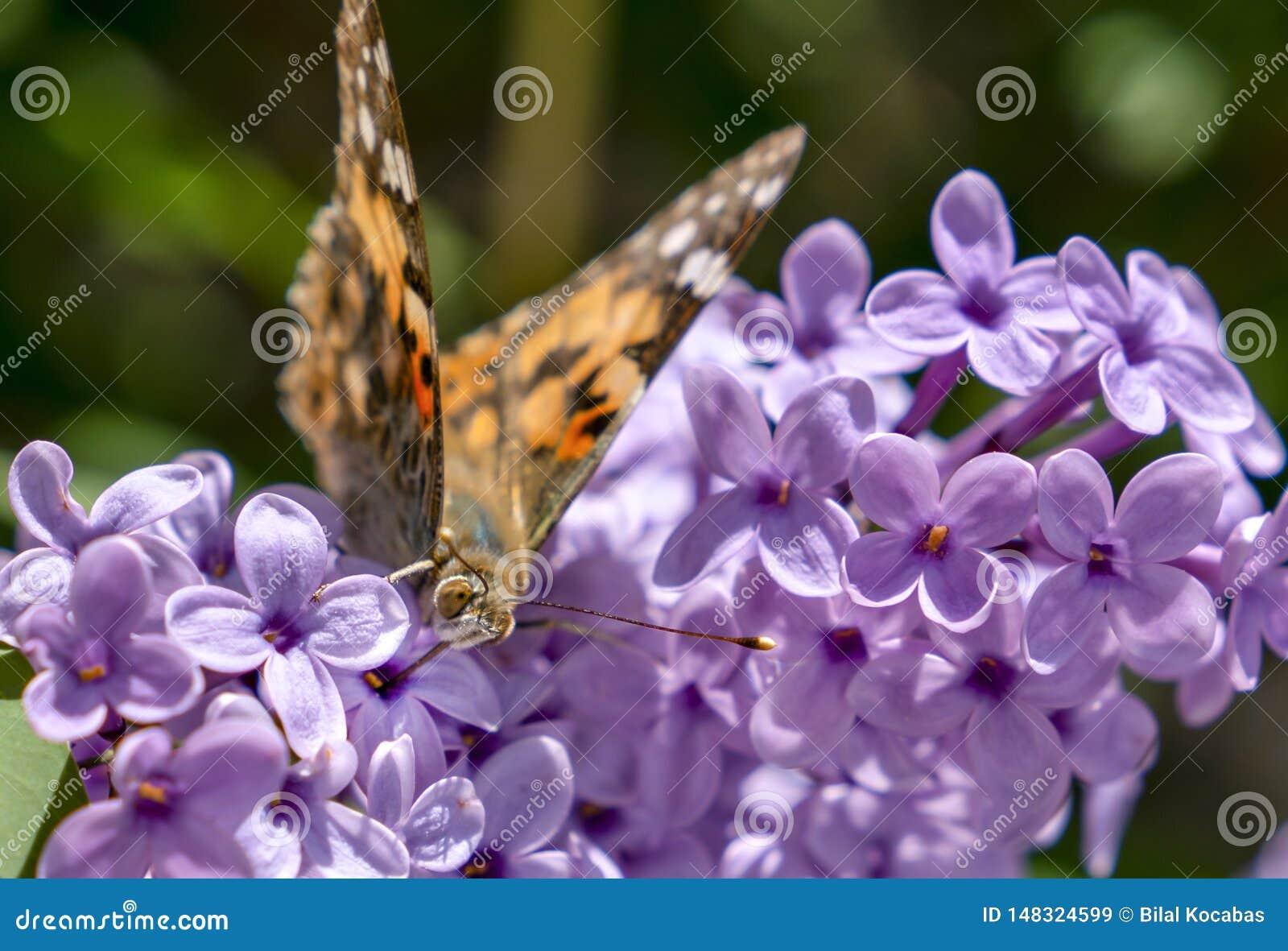 Painted Lady butterfly vanessa Cardui on a summer lilac bush Buddleja davidii
