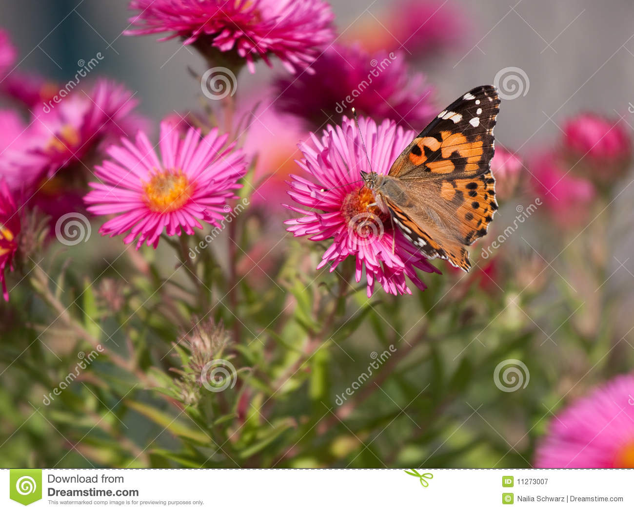 Download Painted Lady, Vanessa Cardui Stock Image - Image of animal, brown: 11273007