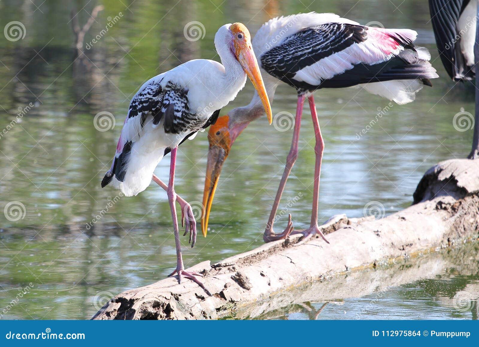 Painted Stork & x28;Mycteria leucocephala& x29; on river