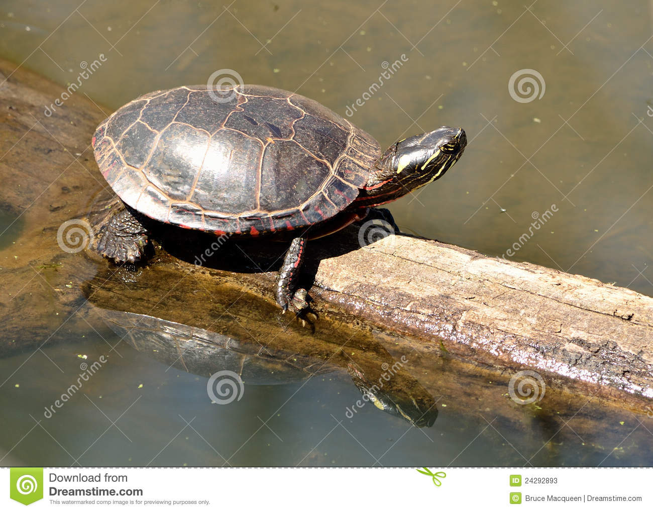 Download Painted Turtle stock image. Image of painted, perched - 24292893