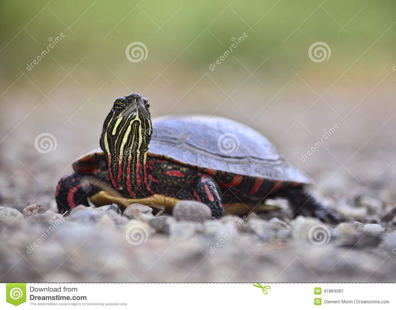 Download Painted turtle stock image. Image of animal, shell, reptile - 41884081