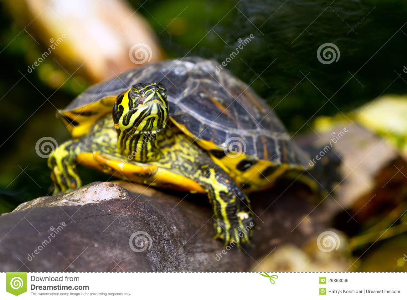 Download Painted turtle in wildlife stock photo. Image of amphibian - 26863066