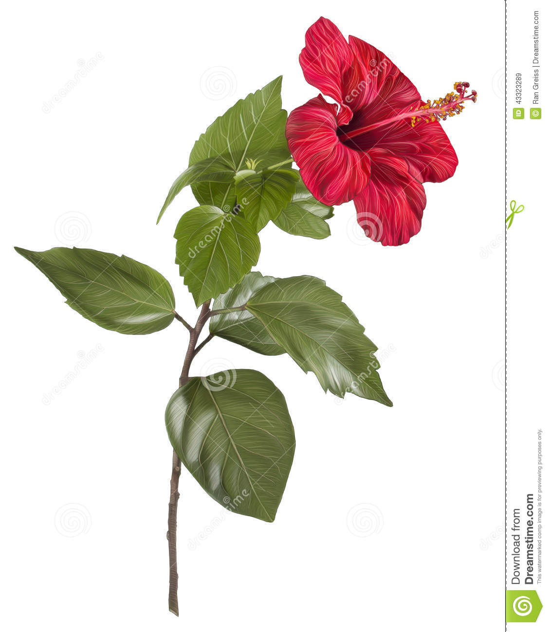 Painting of hibiscus flower on white background stock illustration painting of hibiscus flower on white background izmirmasajfo