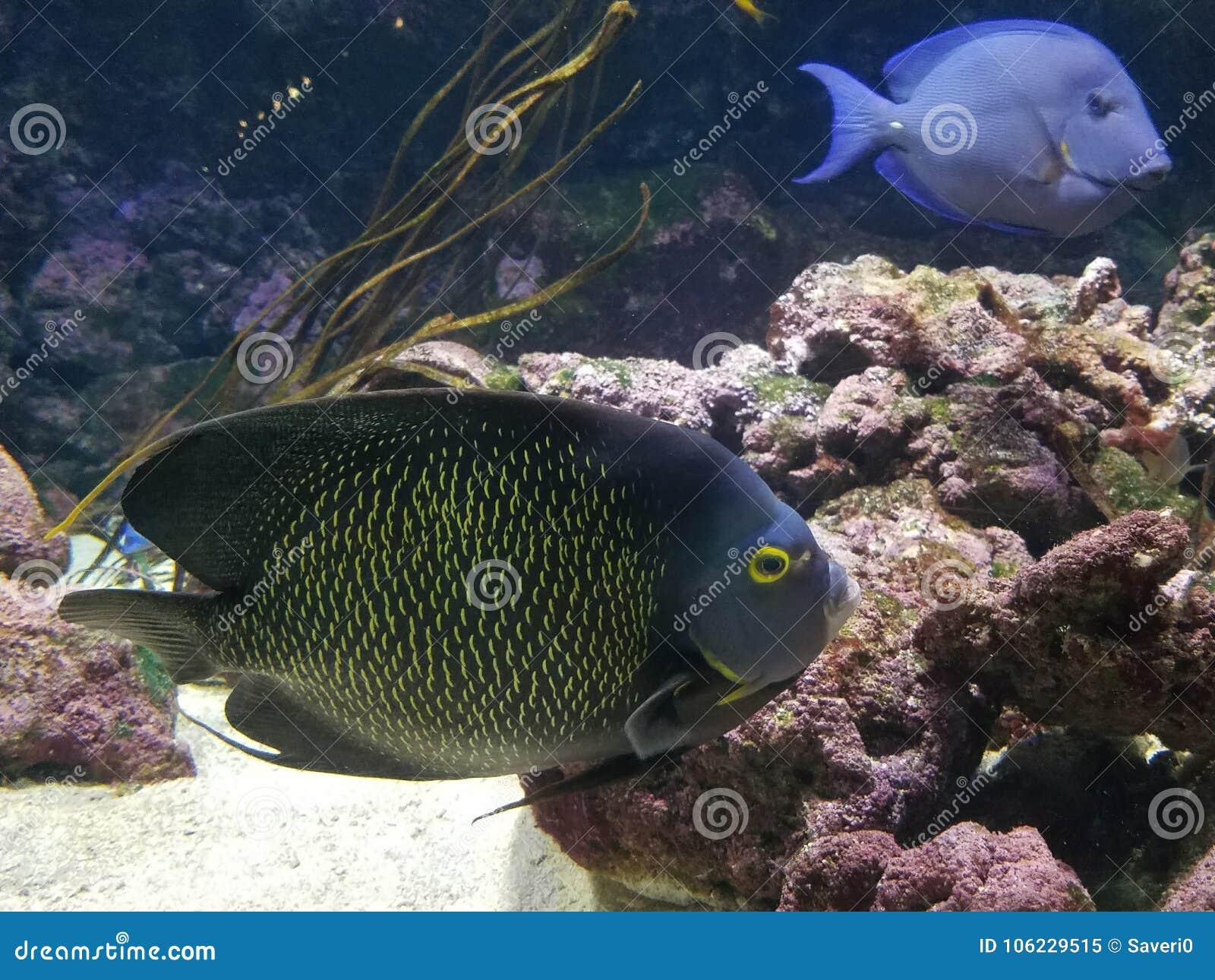 A Pair Of Angelfish L'Aquarium de Paris Cinéaqua