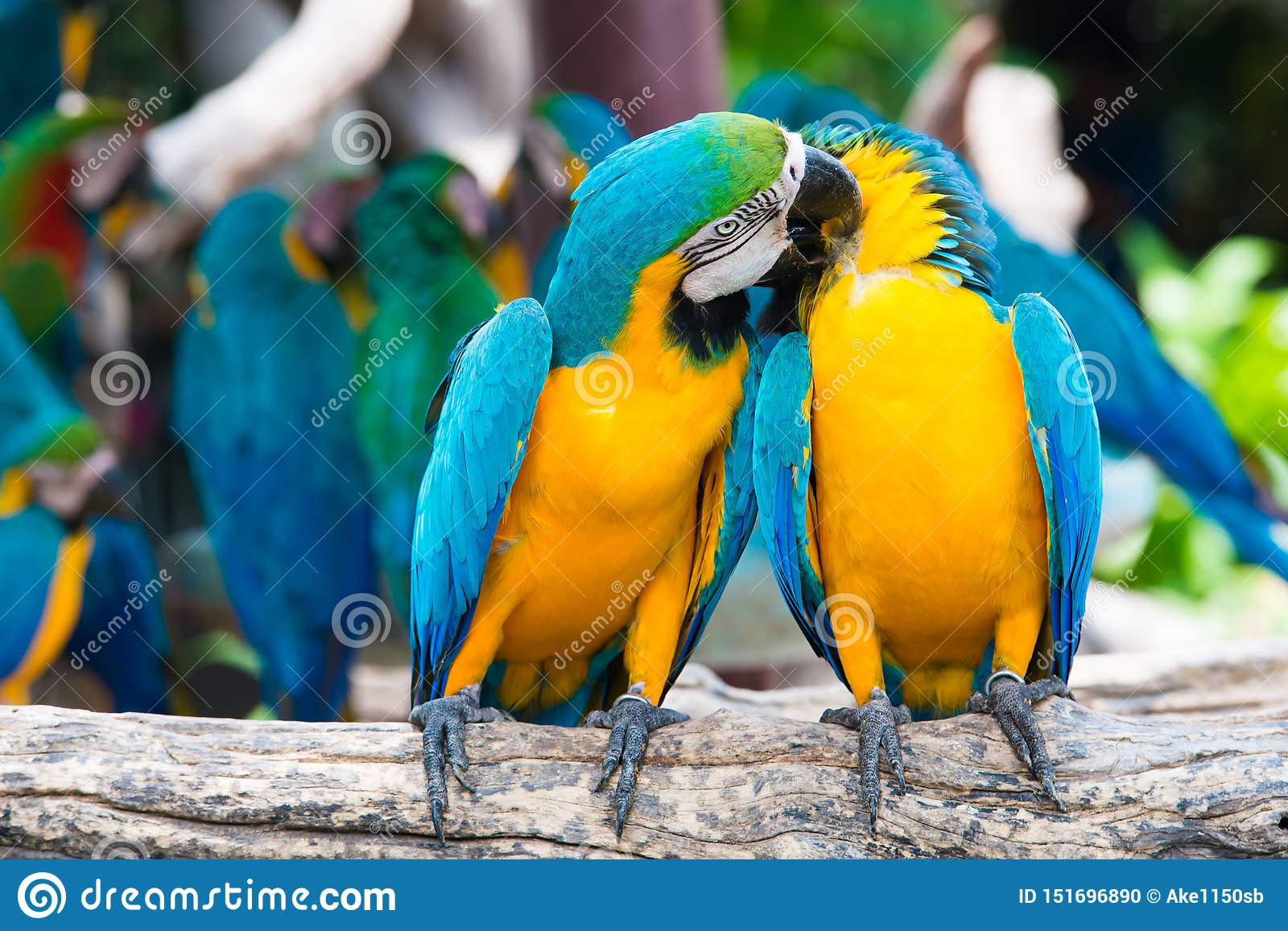 A pair of blue-and-yellow macaws perching at wood branch in jungle. Colorful macaw birds in forest