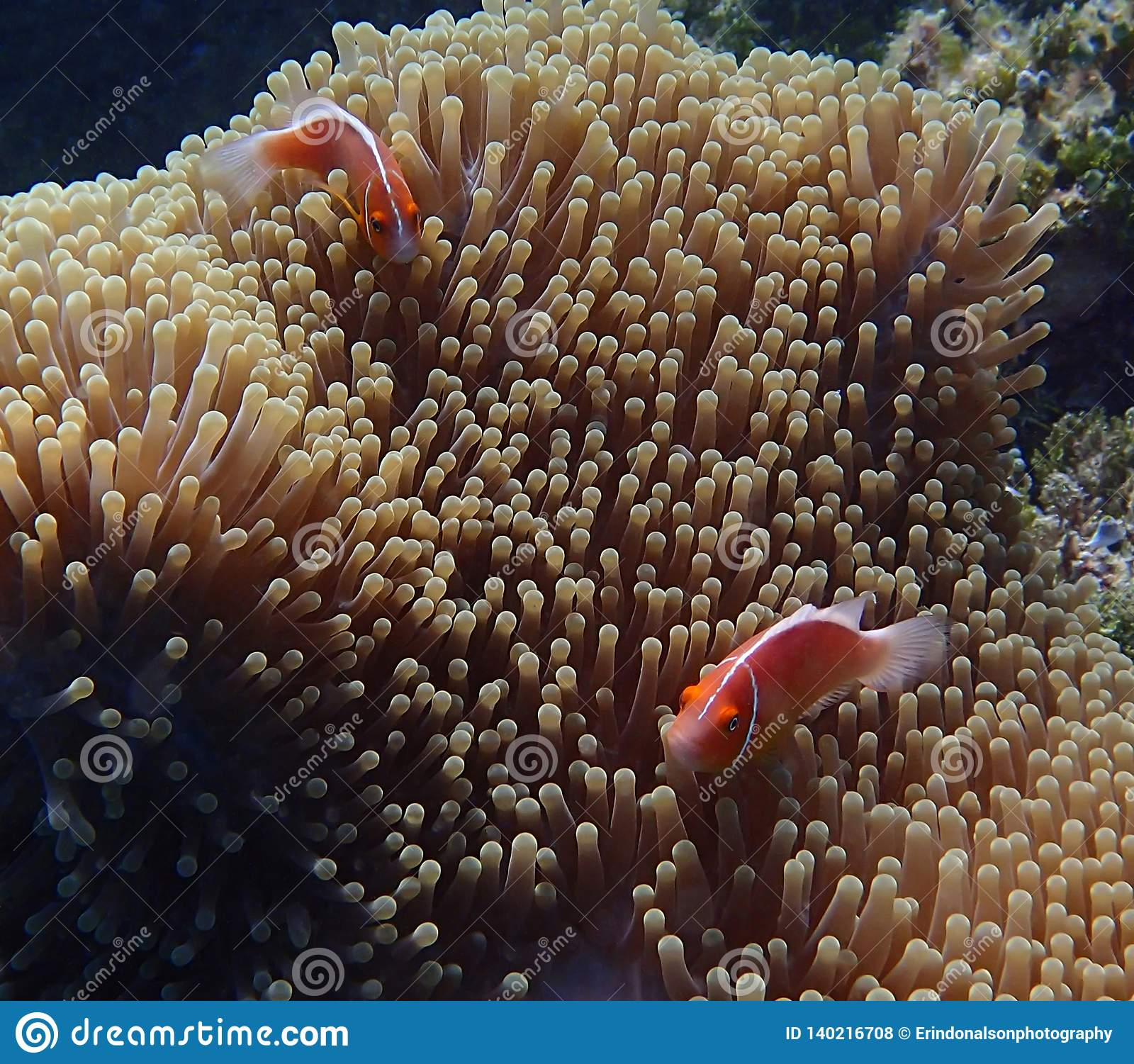 Pair of bright tropical fish in large anemone underwater