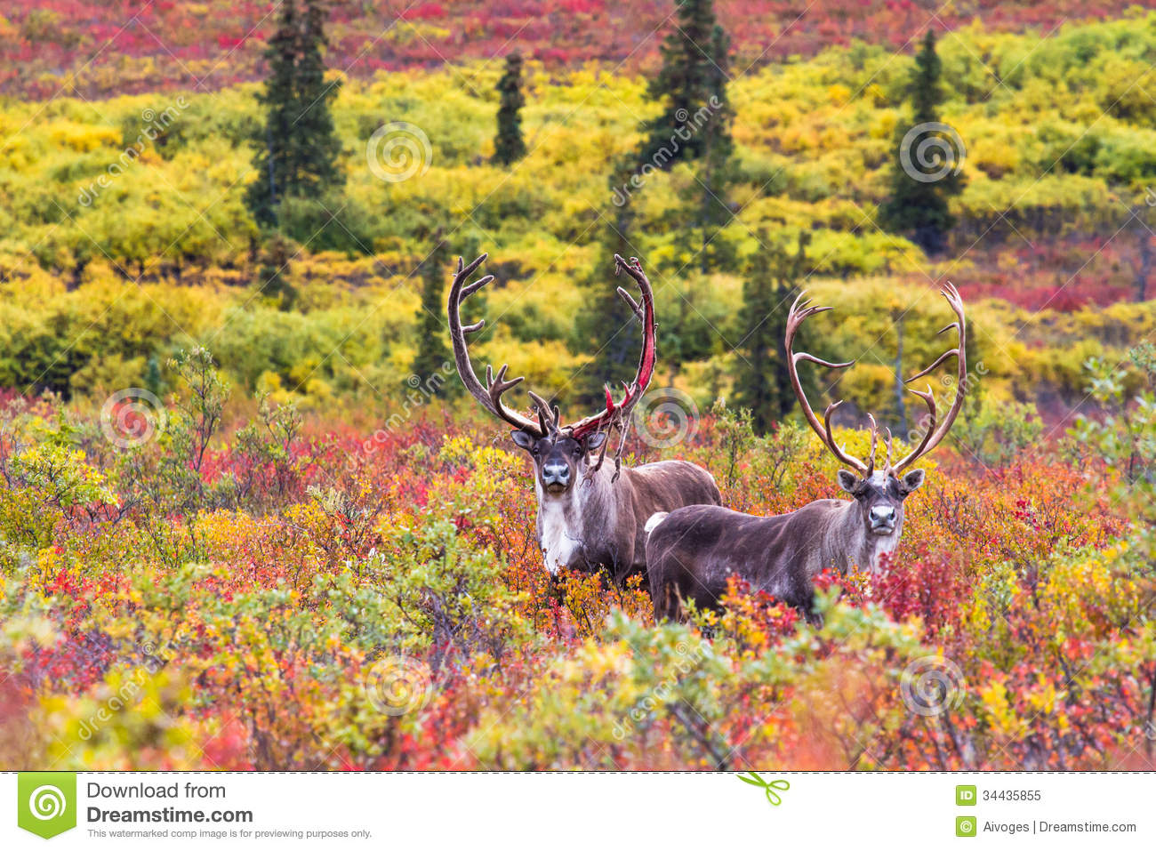 Nature Wall Murals A Pair Of Caribou In Autumn In Denali National Park In