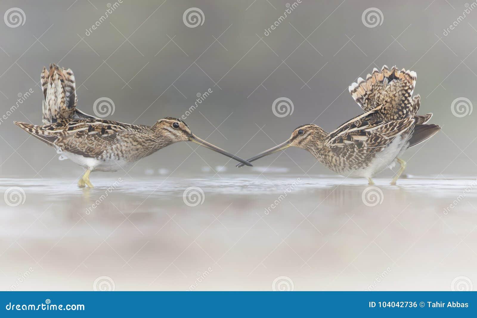 Pair of Common Snipe in love