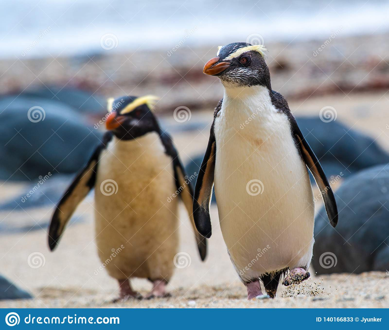 A pair of Fiordland crested penguins on the South Island of New Zealand