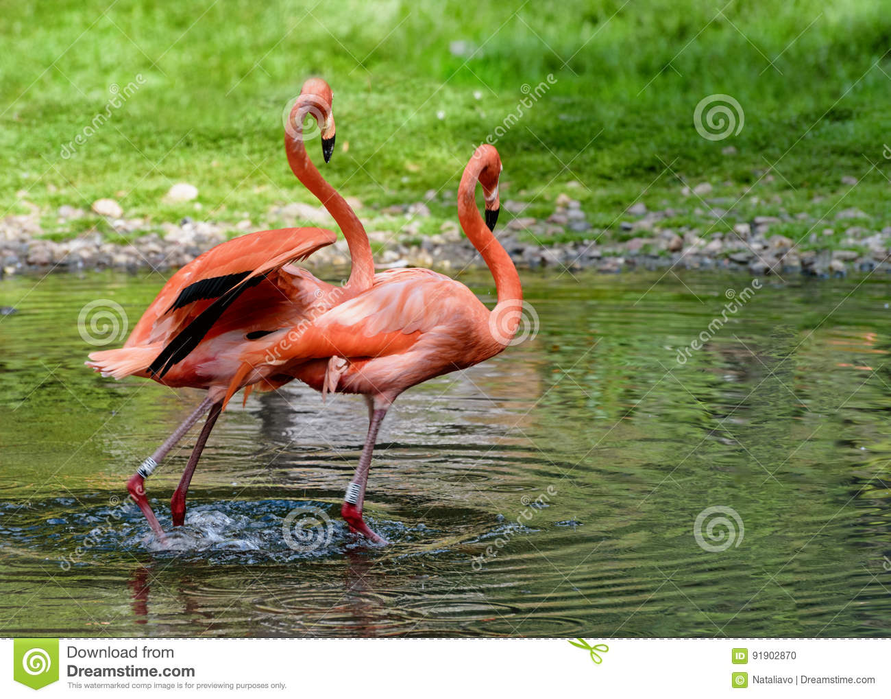 Pair of flamingos stand in a pond. American flamingo. Lanscape for poster