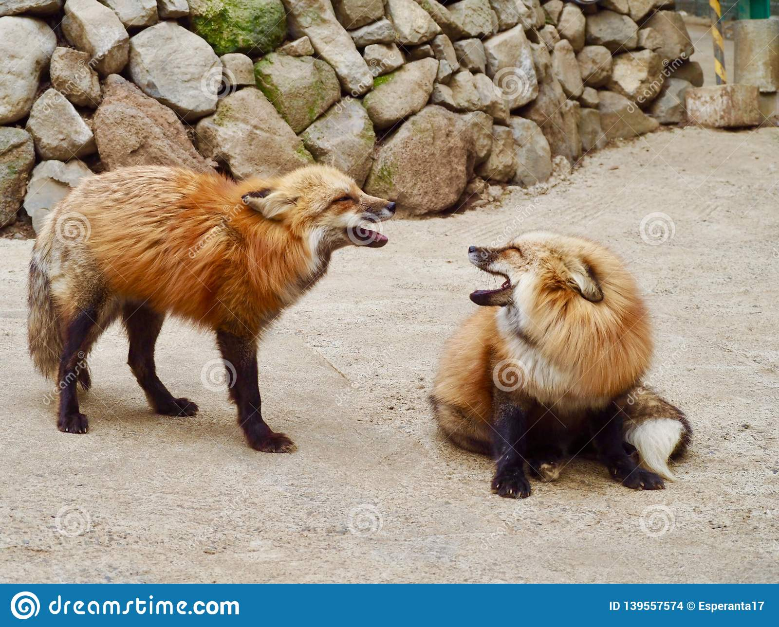 Two foxes communicating in Japan