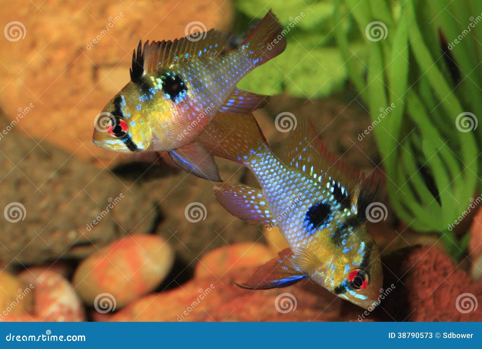 Pair Of German Ram Tropical Fish In Breeding Color Stock