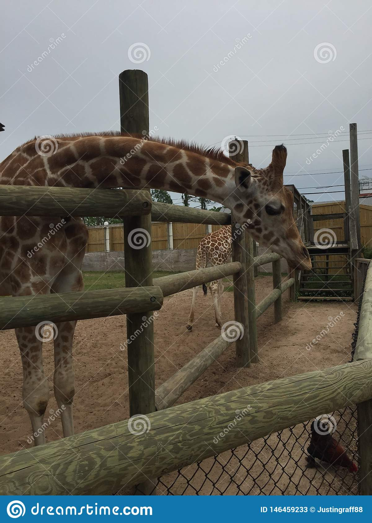 Pair of Giraffes in a wooden pen being fed lettuce with the head approaching the camera great nature shot with wildlife