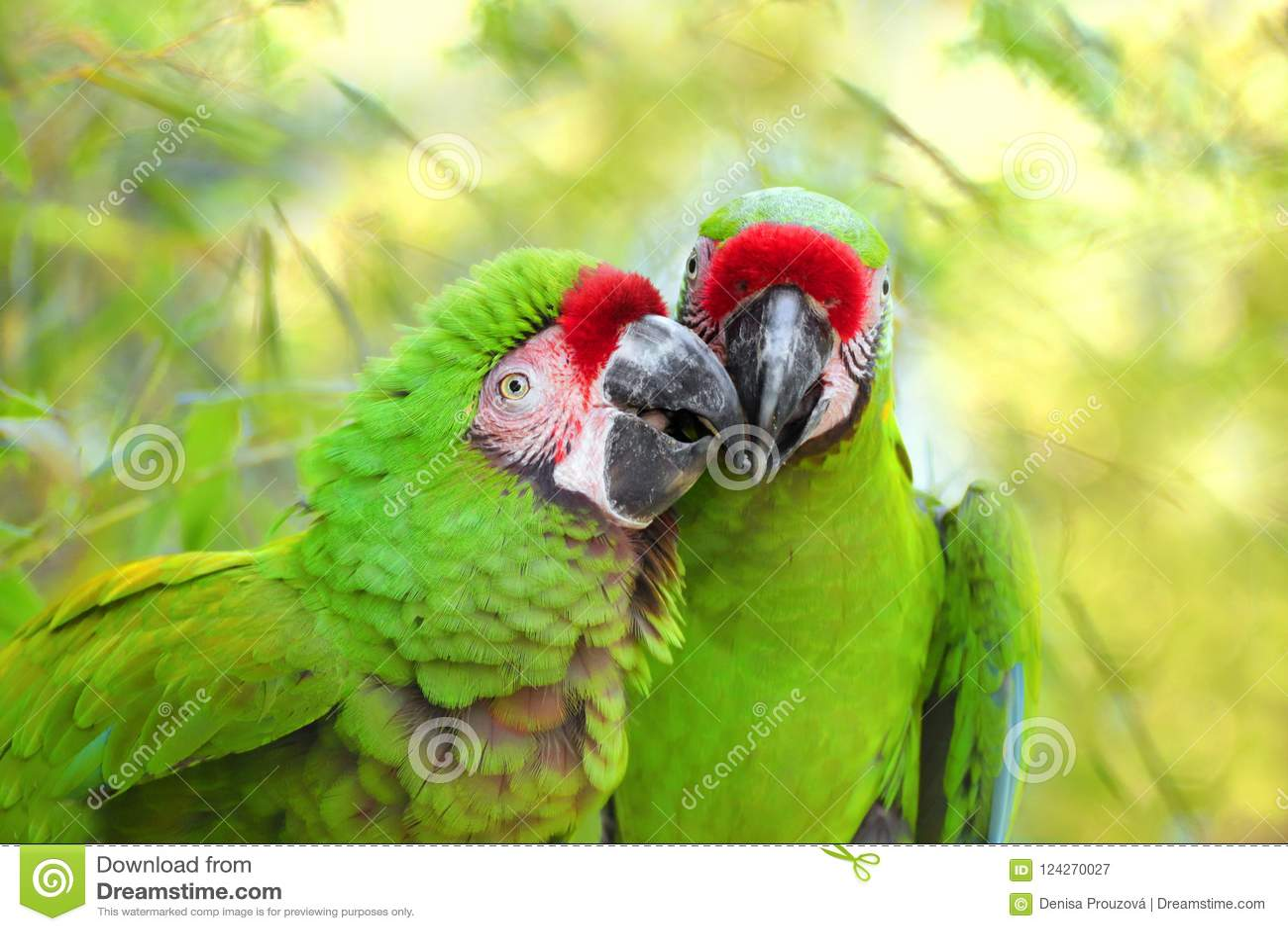 Pair great green military macaw Ara militaris mexicana portrait