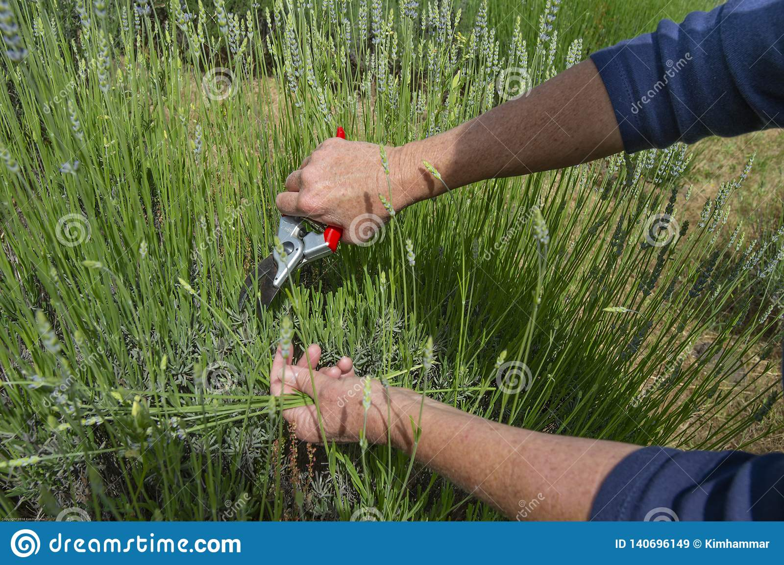 Lavender is harvested with clippers.