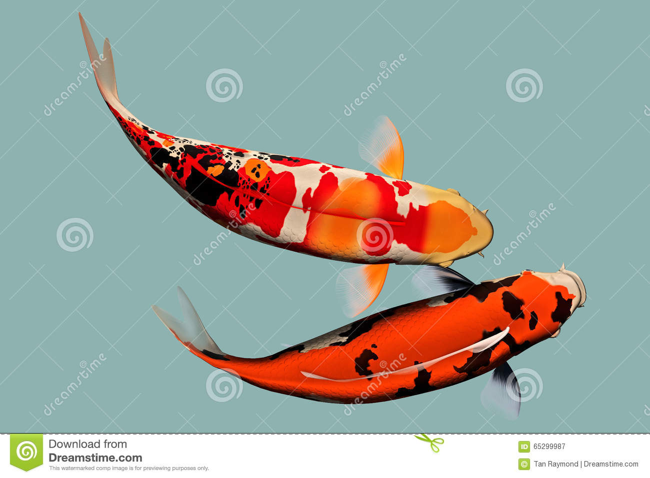 A pair of japanese koi fish stock illustration image for Japanese ornamental fish