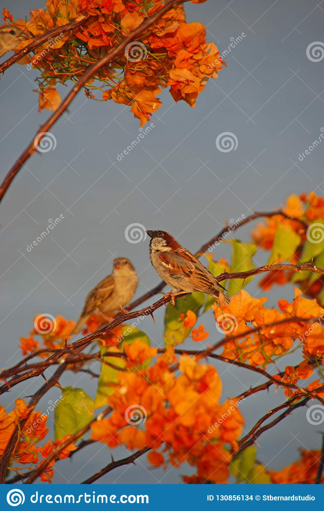 A pair of light brown sparrows resting on the twigs of a large Bougainvillea tree