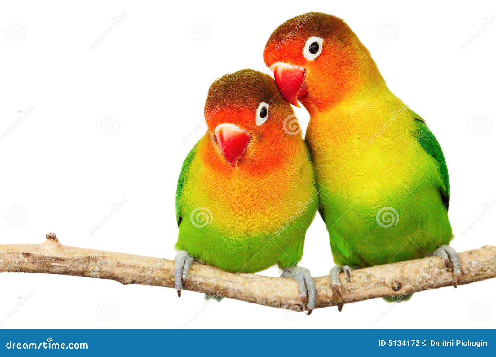 Citaten Love Bird : Pair of lovebirds stock image little isolated