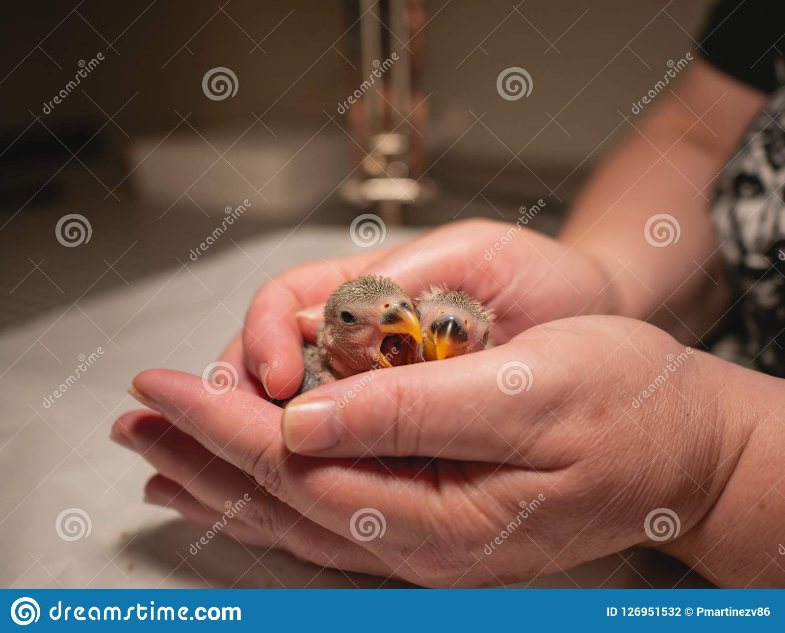 Pair of lovebirds in woman`s hands. Yawn. Closeup