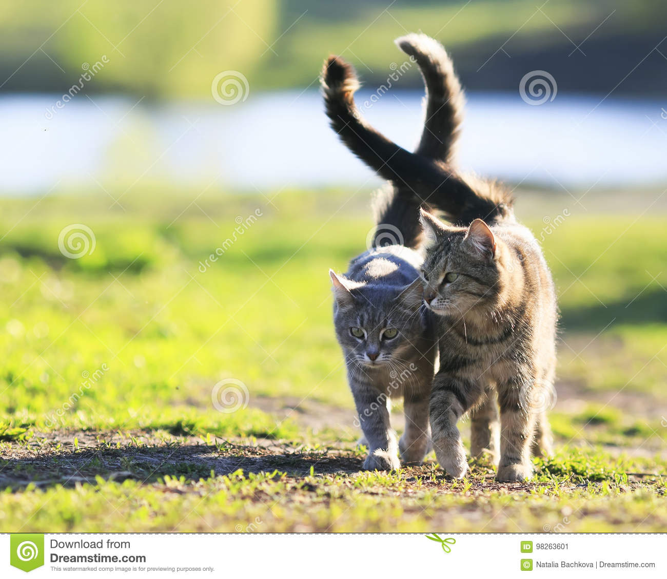 Pair of lovers striped cat walking on green grass next to a Sun