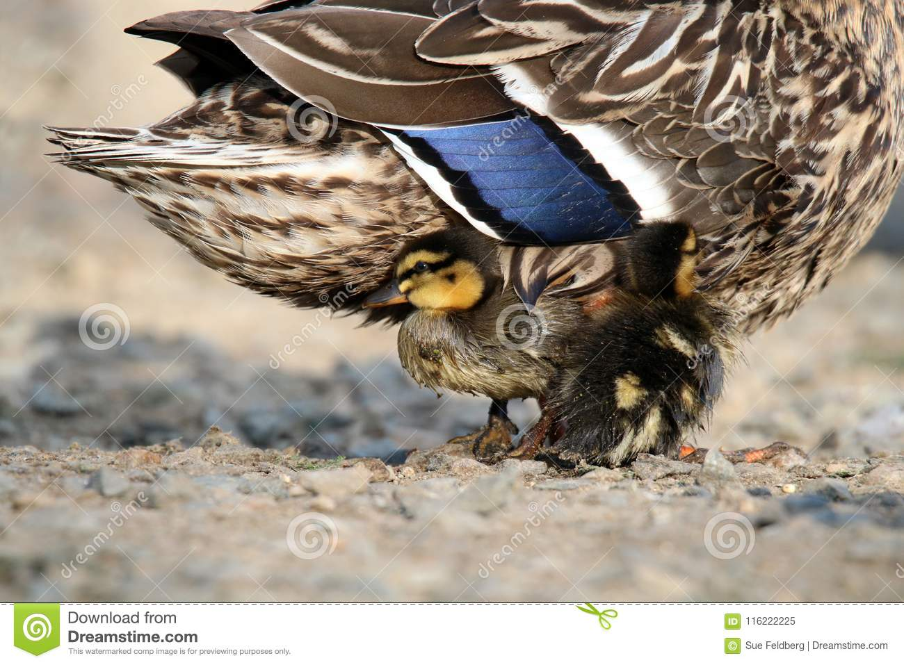 Download Duckling Snuggle stock image. Image of drying, protect - 116222225
