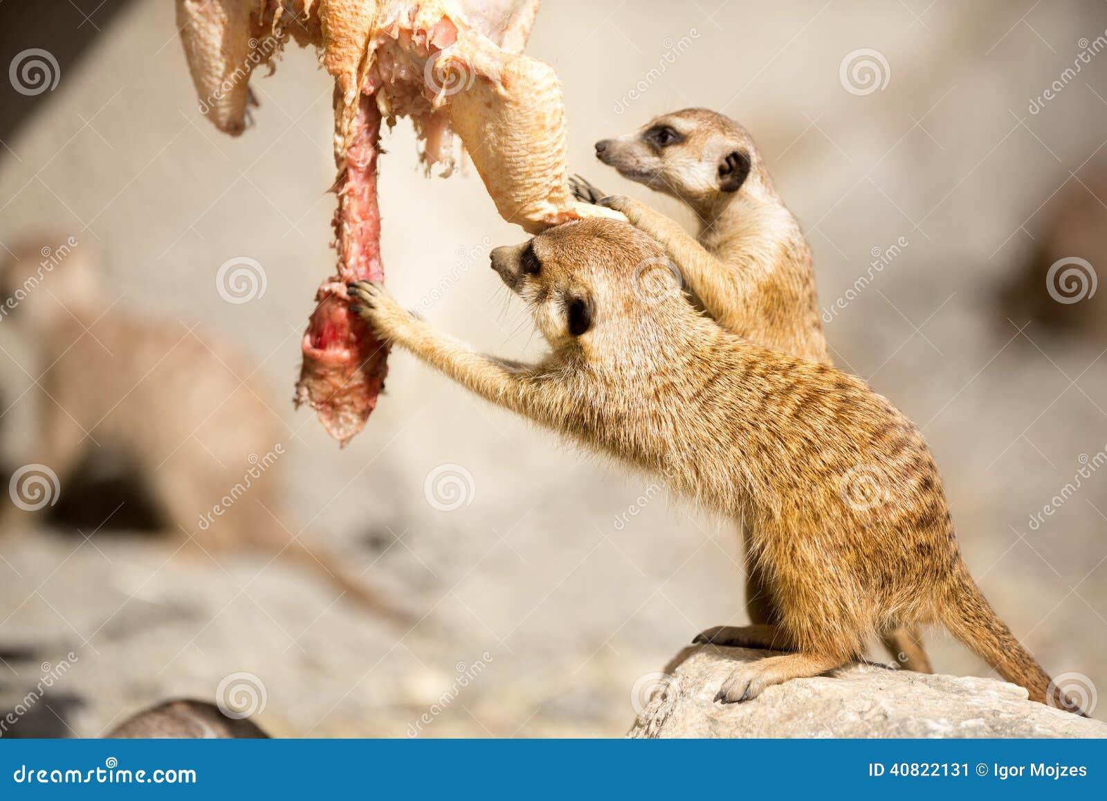 Meerkat eating snake - photo#24