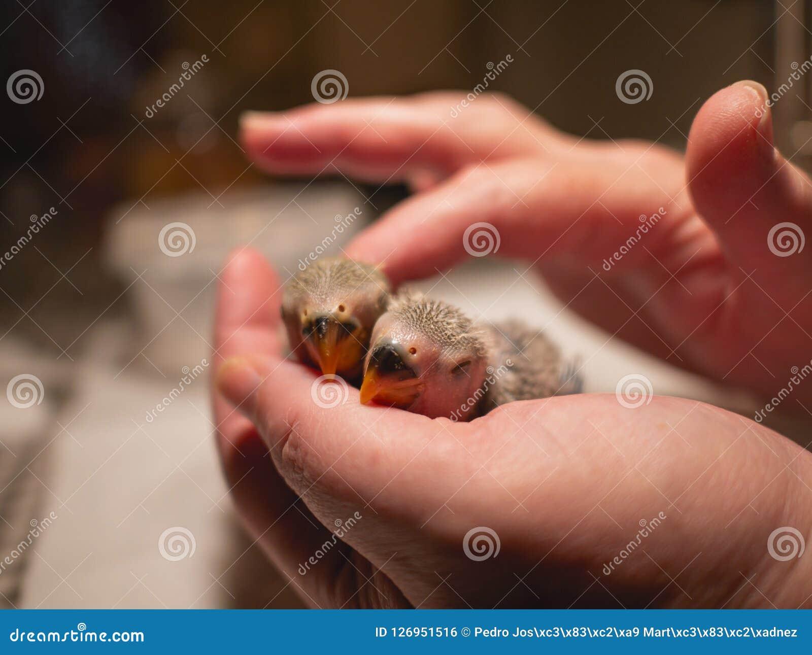 Pair of newborn lovebirds in hand and finger caress. Closeup.