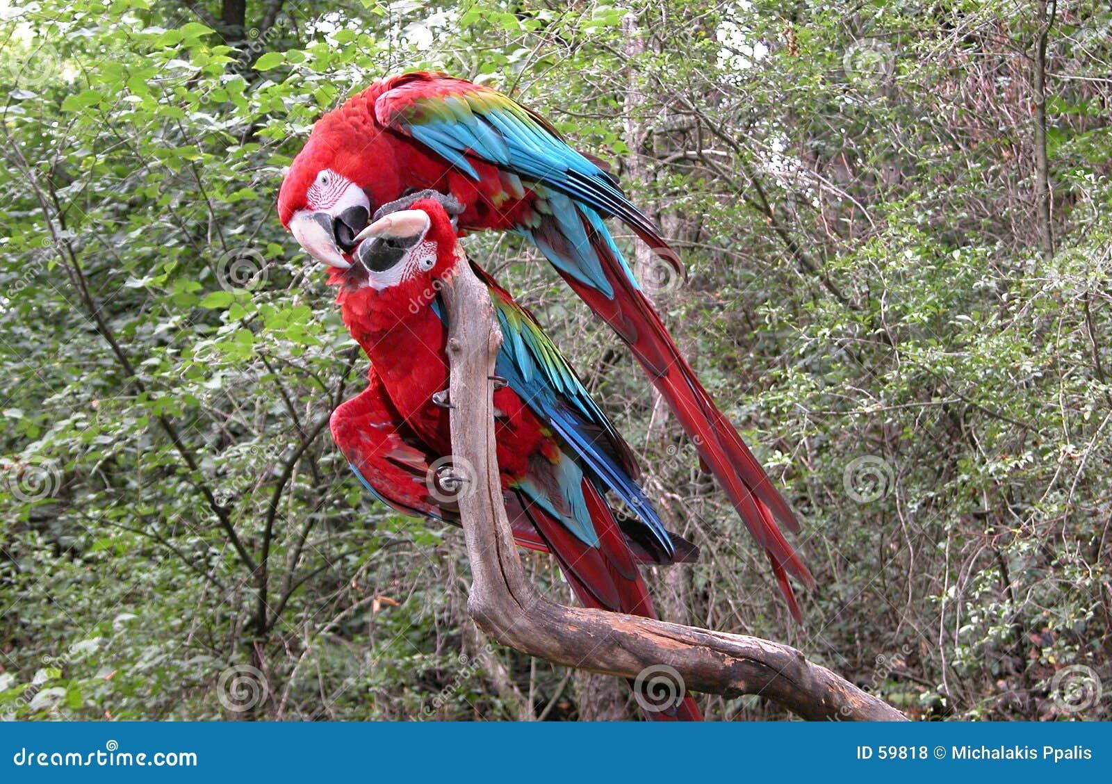 Pair of parrot birds