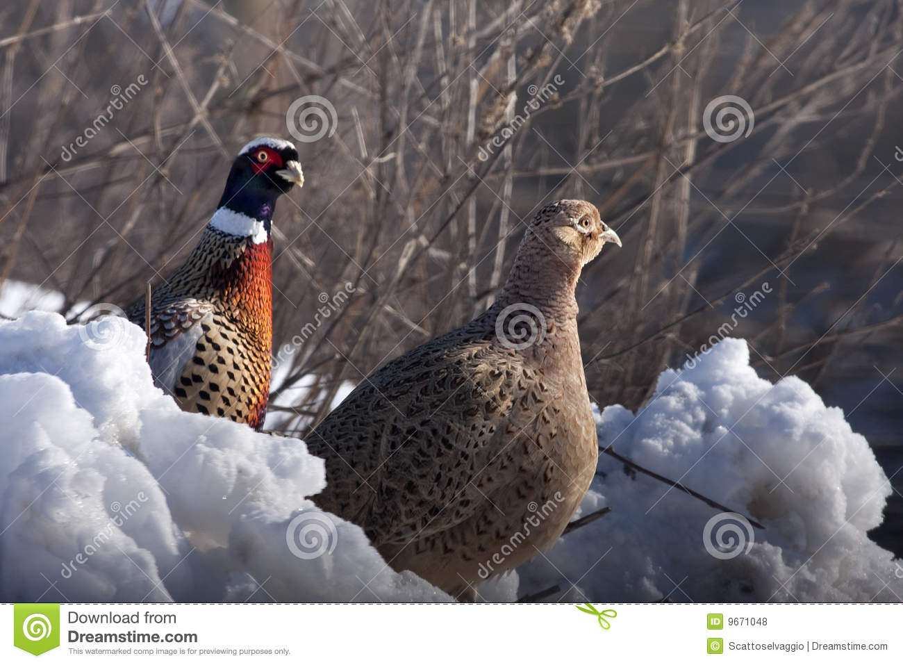Male and female Pheasants in winter, Phasianus colchicus mongolicus