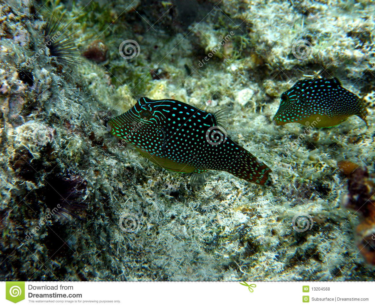 Pair of rare honeycomb toby puffer fish stock photo for Puffer fish price