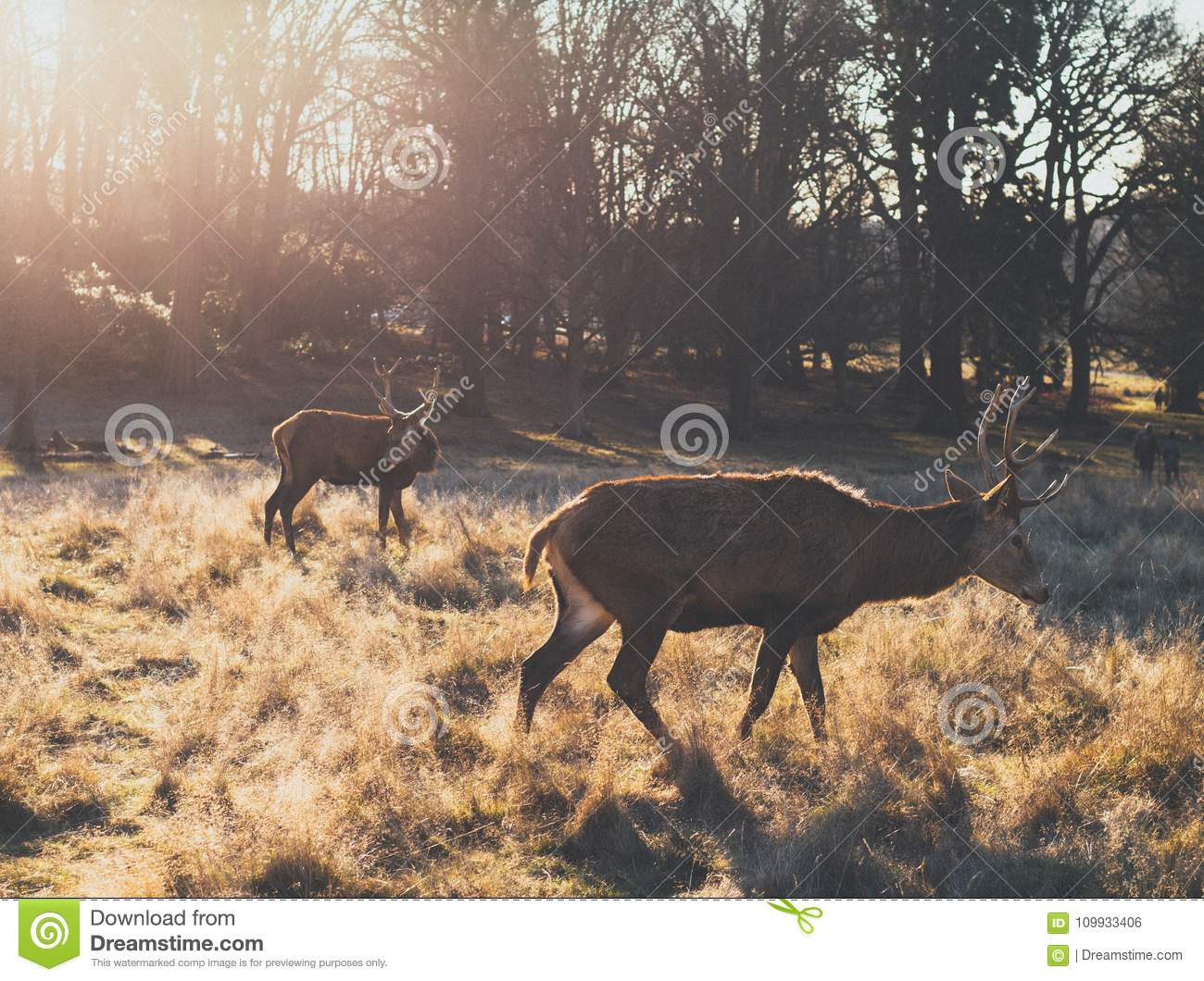Pair of red deer stag during sunrise