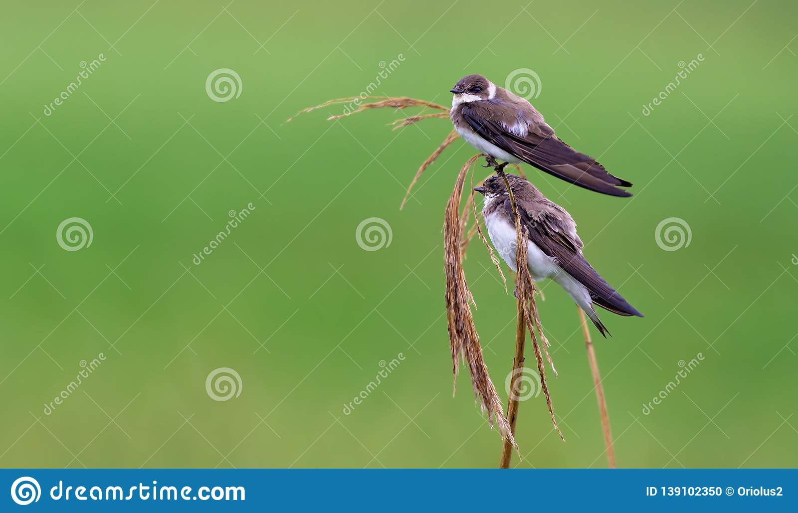 Pair of sand martins sit on a reed mace stems with green background