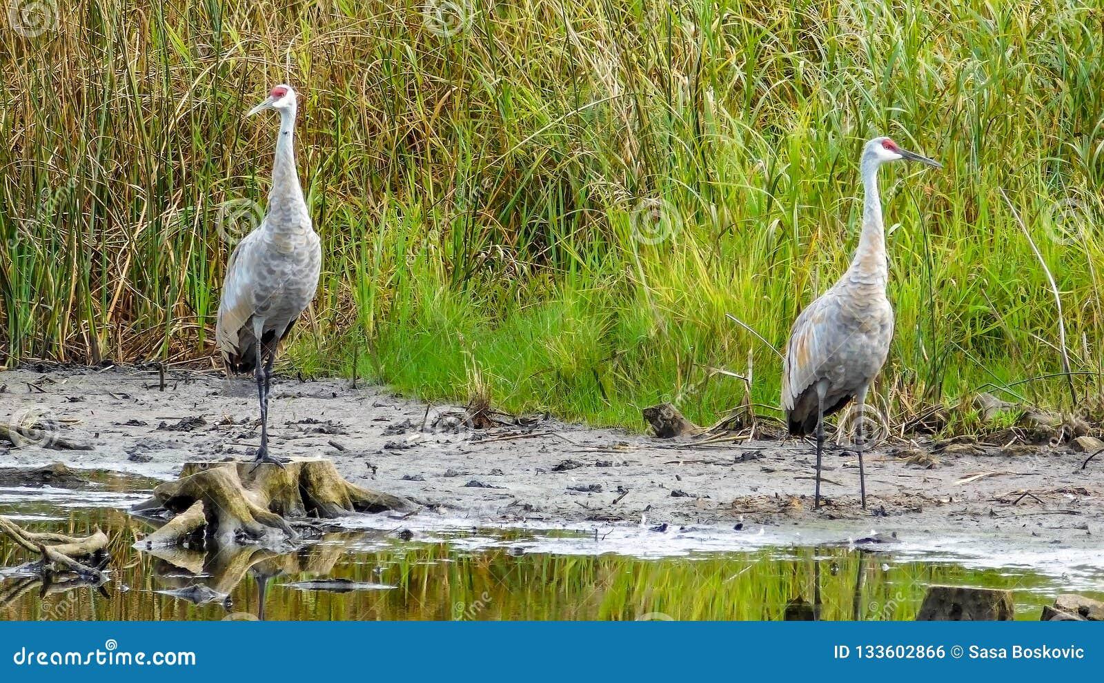 Pair Of Sandhill Crane