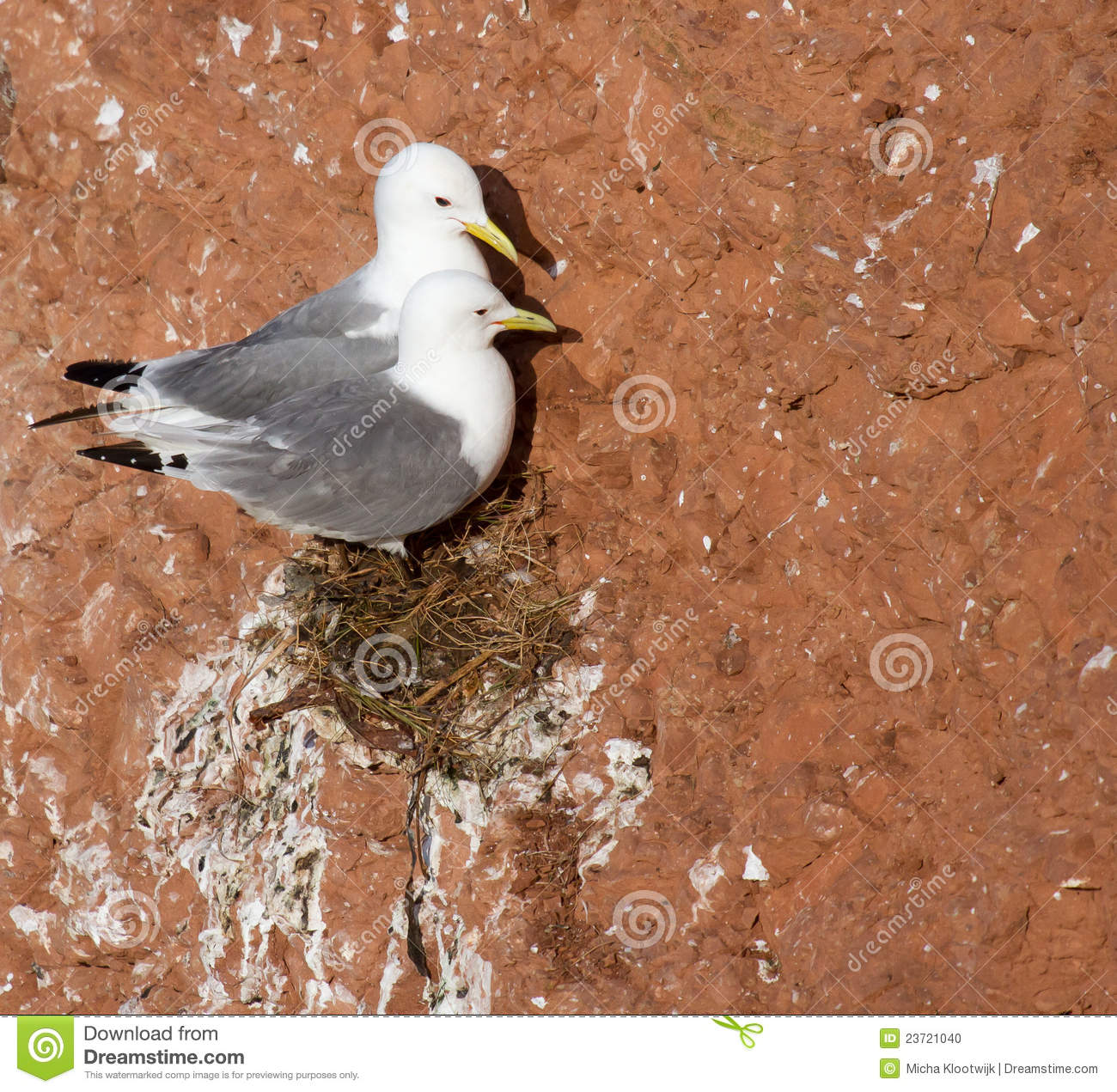 A pair of seagulls nesting