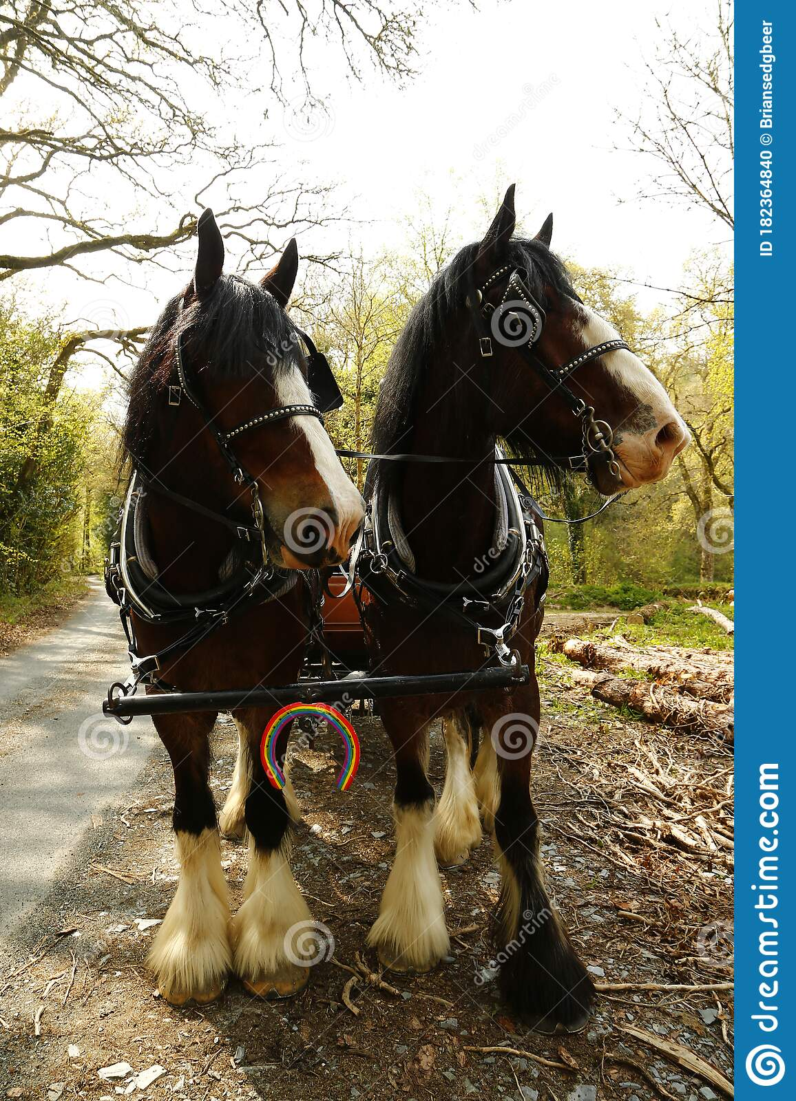 Pair Of Shire Horses Harnessed Together With The Nhs Rainbow Colours On A Horse Shoe Attached To Their Harness Stock Photo Image Of Quarter Beautiful 182364840