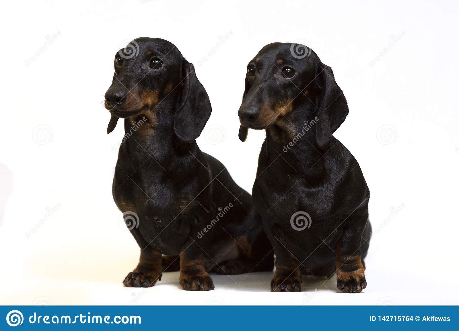 A pair of smooth-coated dachshunds sit isolated on white
