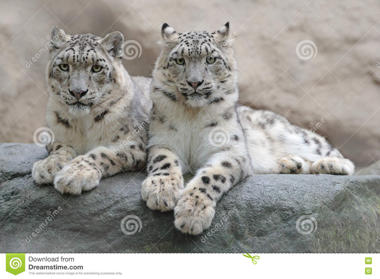 Pair of snow leopard with clear rock background, Hemis National Park, Kashmir, India. Wildlife scene from Asia. Detail portrait of