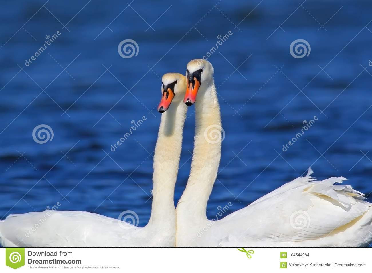 A pair of swan close up view