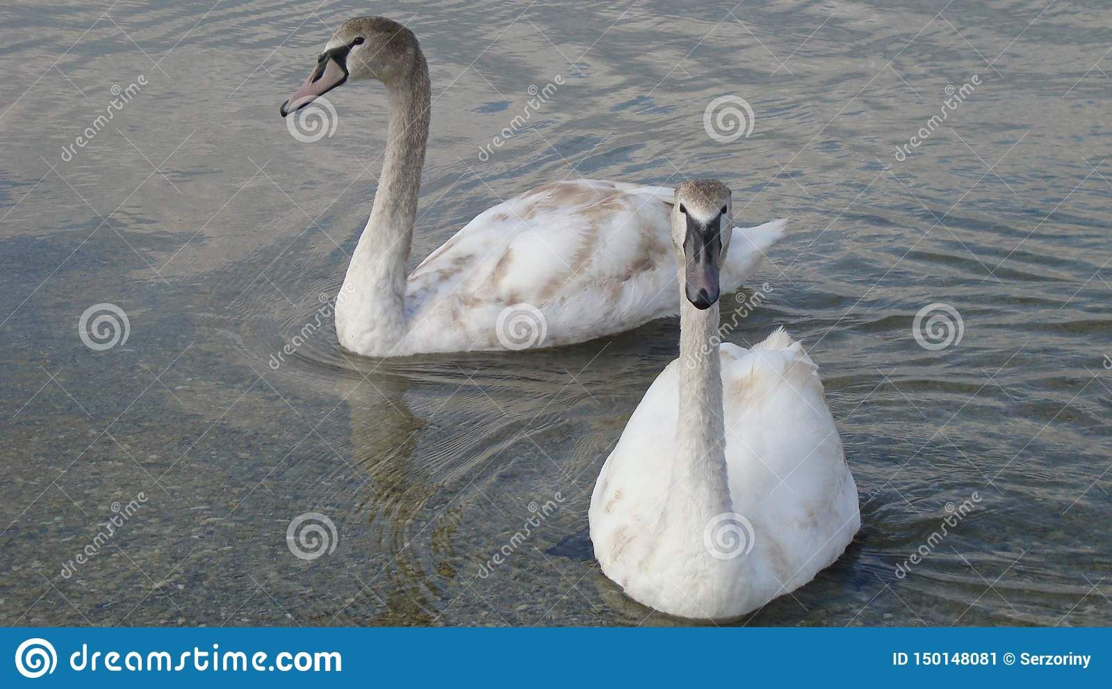 Pair of swans on a crystal clear and tranquil water of the lake close up