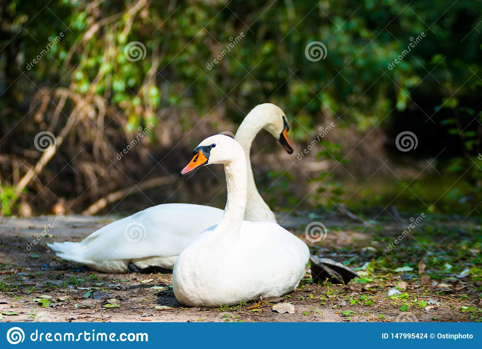 A pair of swans resting on the shore