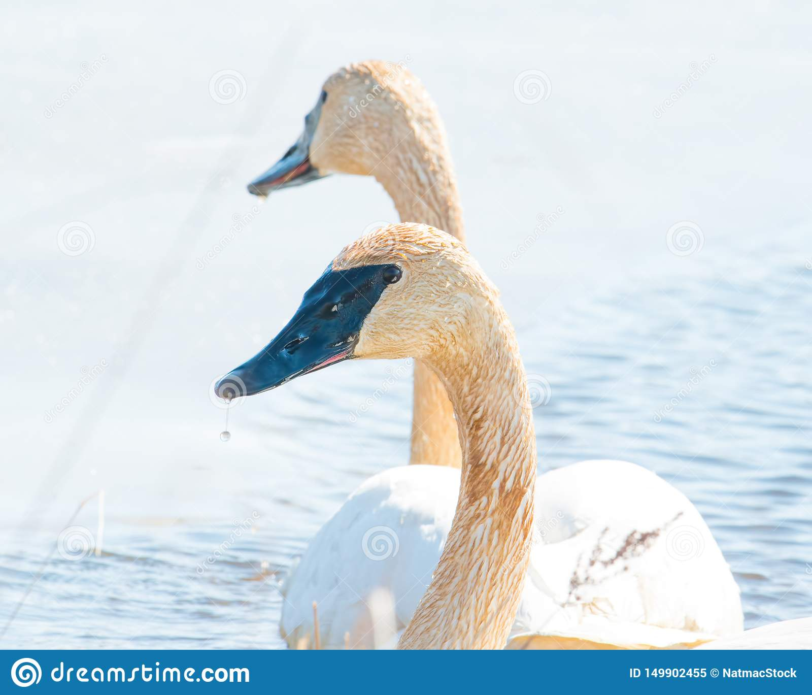 A pair of trumpeter swans with detail of beautiful plumage, eye, and beak - in early Spring during migration - taken in the Crex M