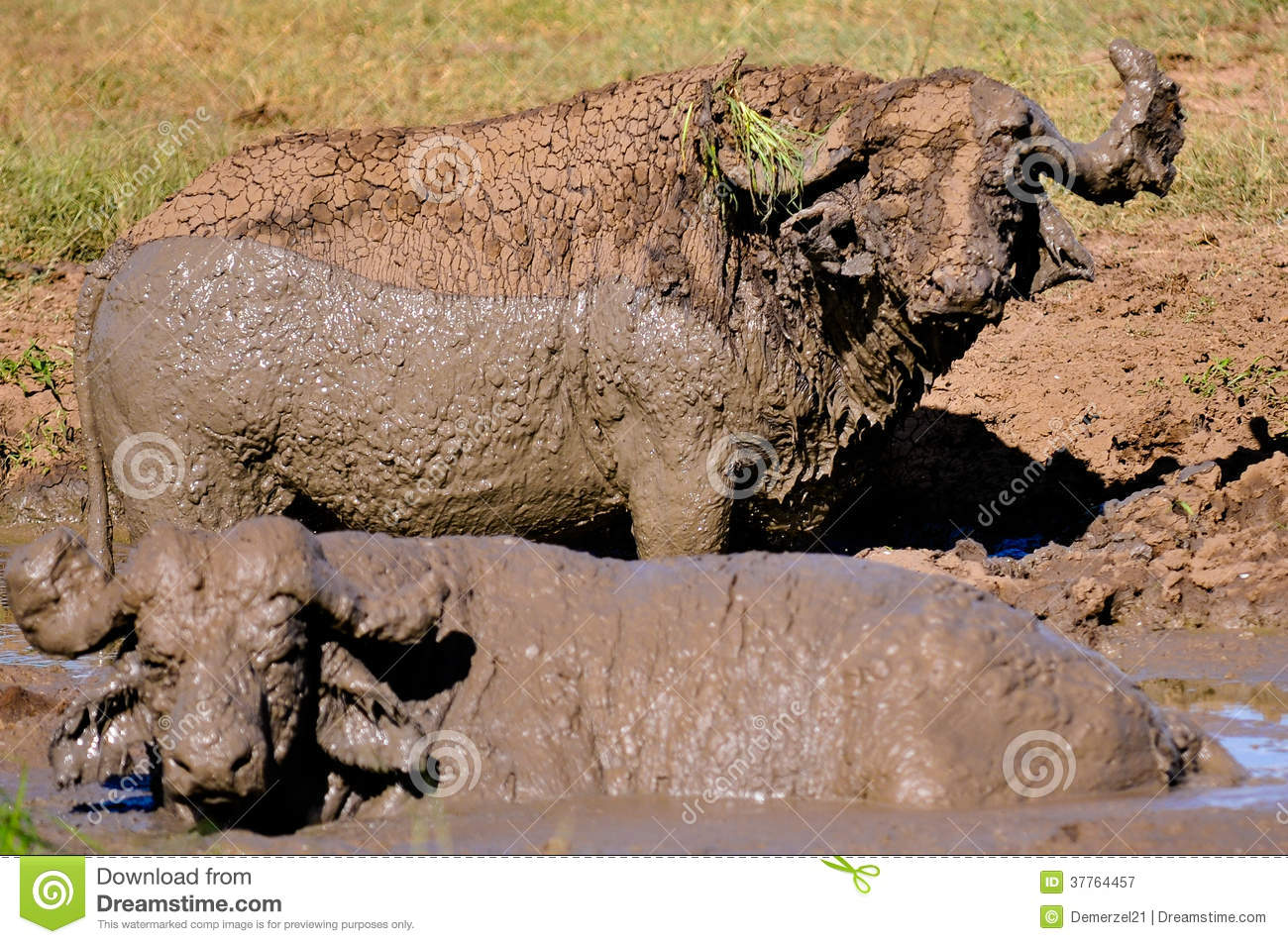 A Pair of Water Buffalo in the Mud