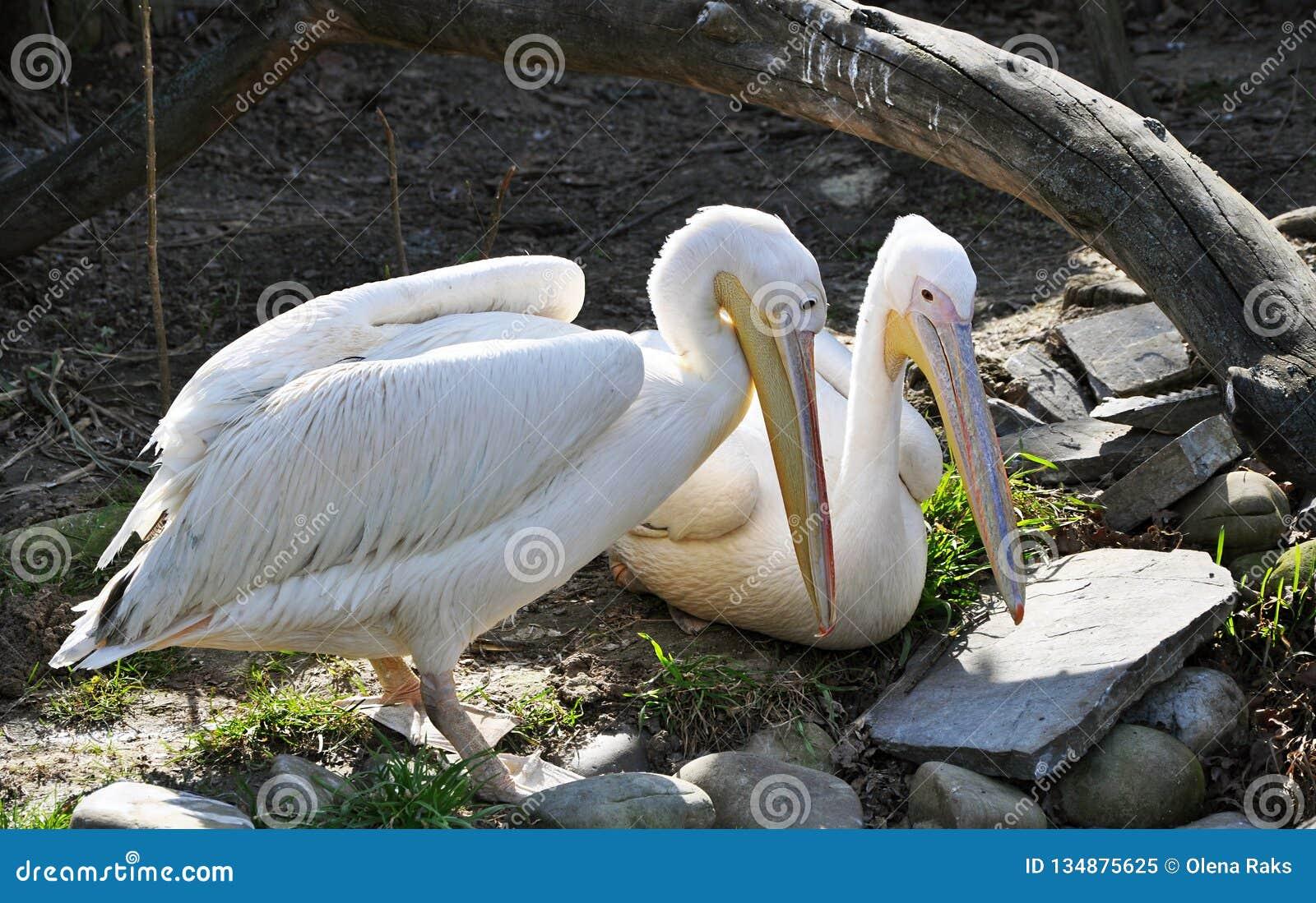 Pair of white pelicans having rest