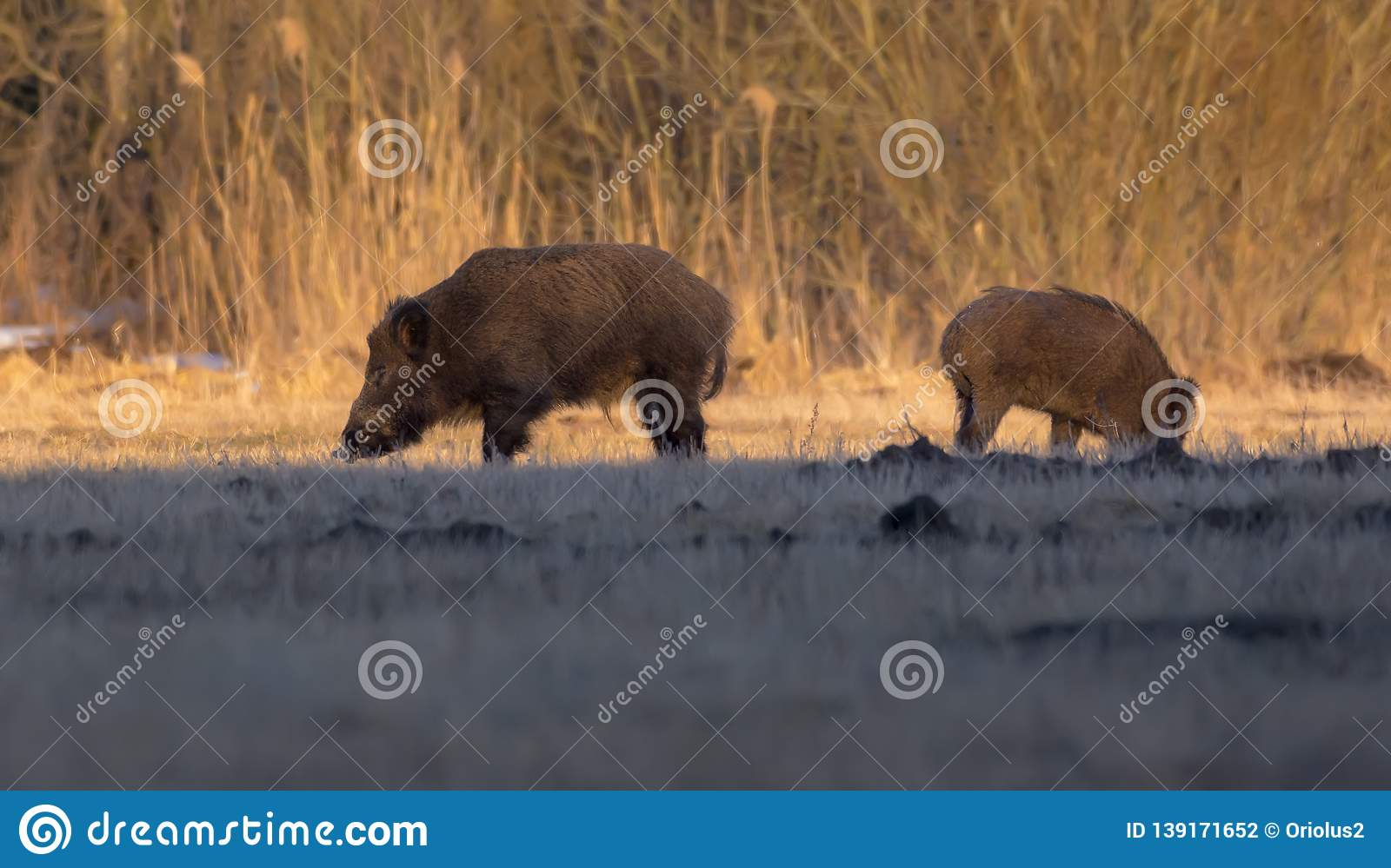Pair of wild boars in search for food at underground field near the woods