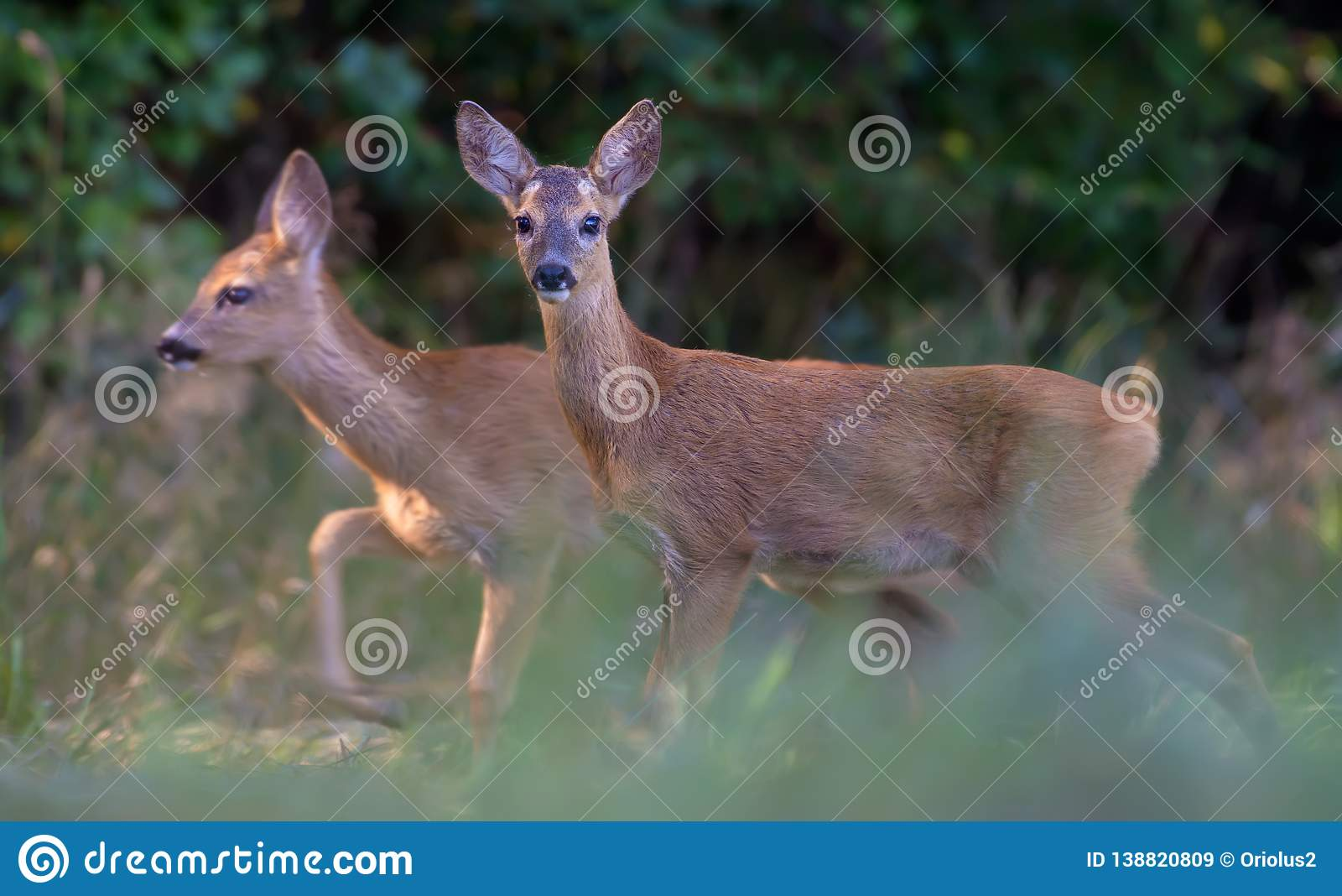 Pair of Young Roe deers walks together through grass